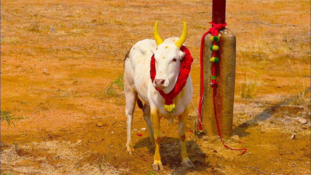 Download வெறிதனமா விளையாடிய வெள்ளை காளை sokkanathapuram manjuvirattu 2018