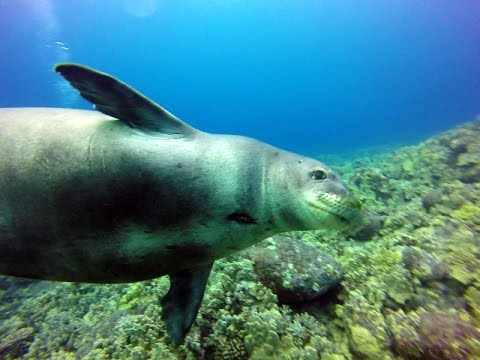 Hawaiian Monk Seal Visits Kona Divers