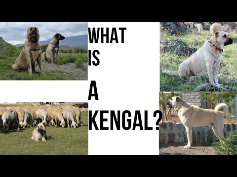 What Is A Kangal???