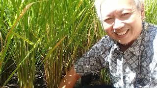 Download lagu Tata Cara Budidaya Padi Organik di Polybag dan Terpal Pekarangan Rumah