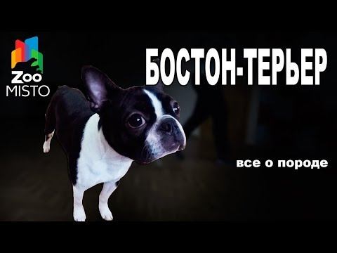 Бостон-терьер - Все о породе собаки | Собака породы - Бостон-терьер