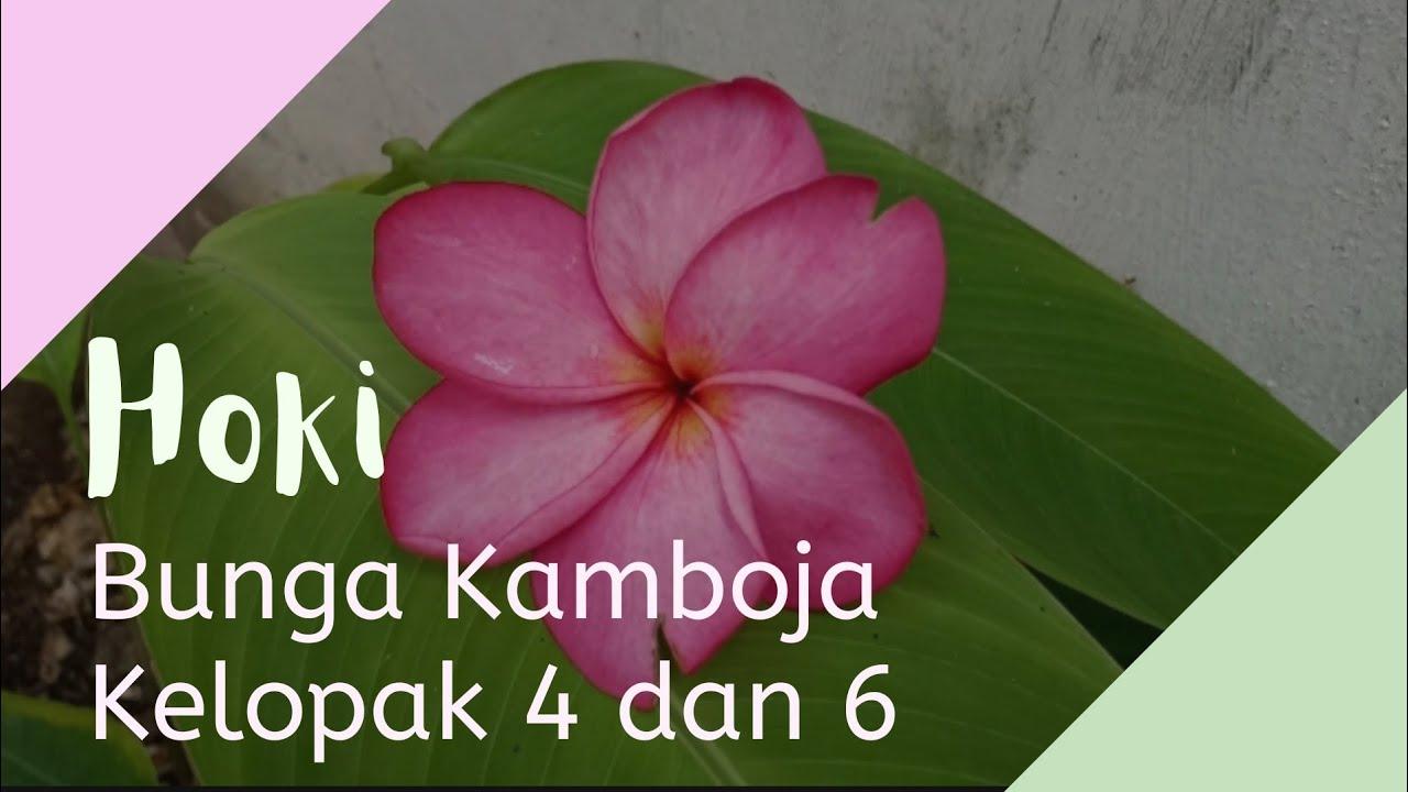 Peruntungan Bunga Kamboja Kelopak 4 6 Youtube