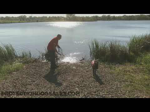 """First Swimming Lesson """"Sanders"""" 4 Mo's Development & Training For Protection Dogs"""