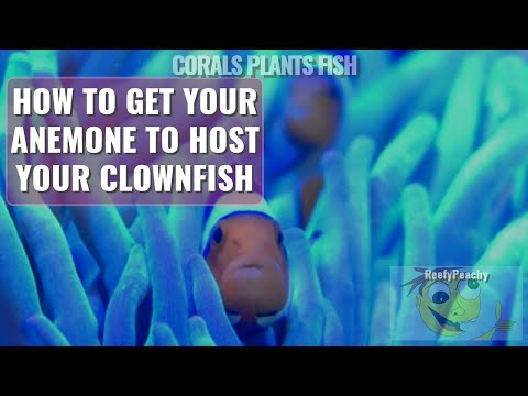 How To Get Your Anemone To Host Your Clownfish, Clownfish Hosting Video Series Episode 1