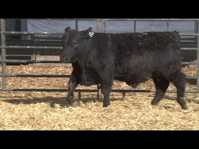 Schiefelbein Angus Farms Lot 151