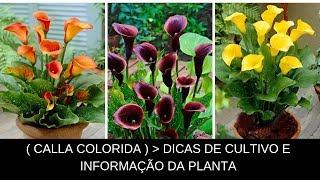Calla colorida – dicas de cultivo e informações técnica da planta