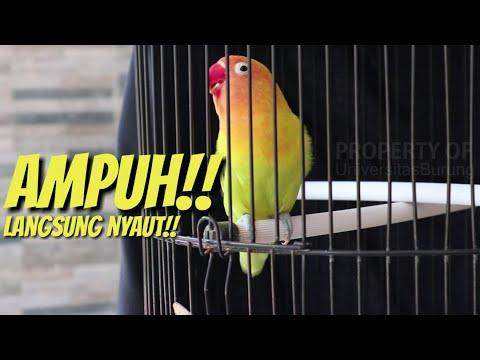 Ampuh Banget! Suara Pancingan Lovebird Ngekek Panjang Pasti Langsung Nyaut