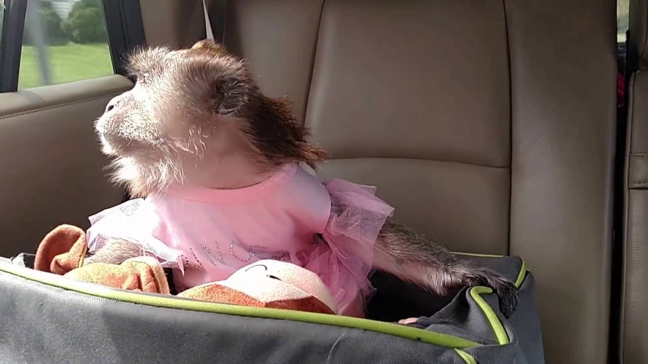 A Monkey Riding In Her Car Seat