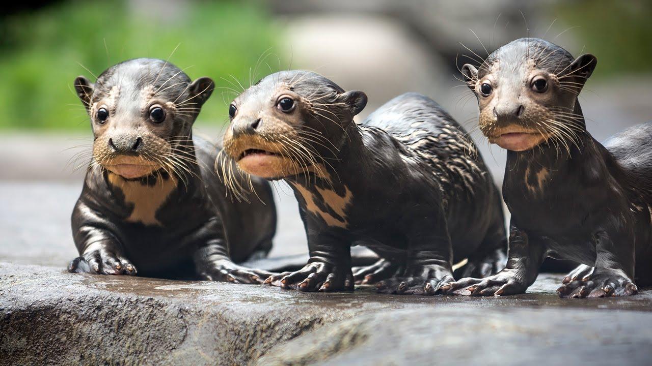 Giant Sea Otter Creativehobby Store