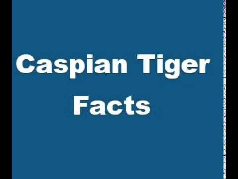 Caspian Tiger Facts   Facts About Caspian Tigers