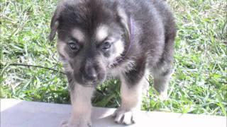 German Shepherd Puppies For Sale 2011 Houston, Tx
