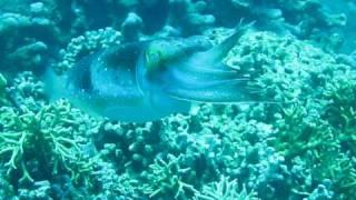 Cuttlefish Fantastic Lightshow Nha Trang Vietnam Aquademy