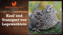 Kauf und Transport von Legewachteln - Zusammenfassung Wachtel-Live-Talk | Wachtel-Shop.com
