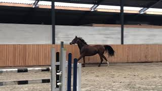 watch 9f624 30528 3 yo mare by Freeman VDL x Naturel
