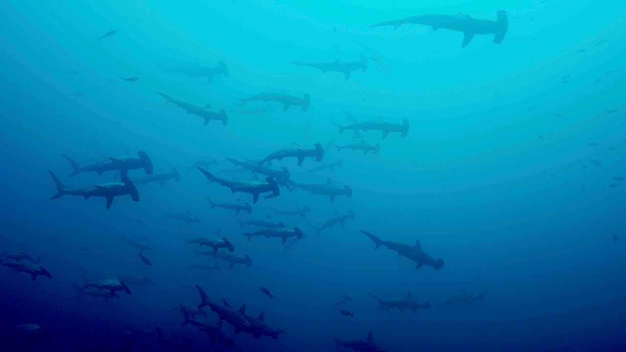 Teaser - Malpelo The Island of the Hammerhead Sharks