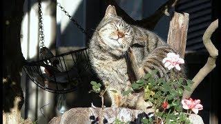 【地域猫】寒い冬の朝、ちゃっかり猫団子の日向ライフ。【魚くれくれ野良猫製作委員会】 thumbnail