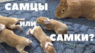 Определение пола однодневных крольчат