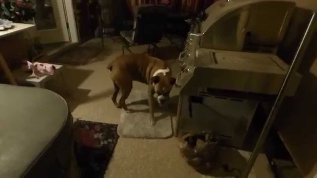 dog pacing after seizure