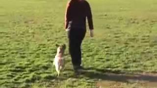 Border Terrier Heelwork