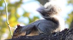 Gray squirrel organizing its fur on tree branch