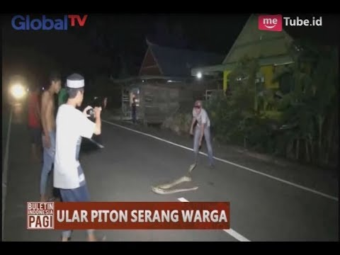 Kelaparan, Ular Piton Turun ke Jalan & Serang Warga di Sulsel - BIP 26/06