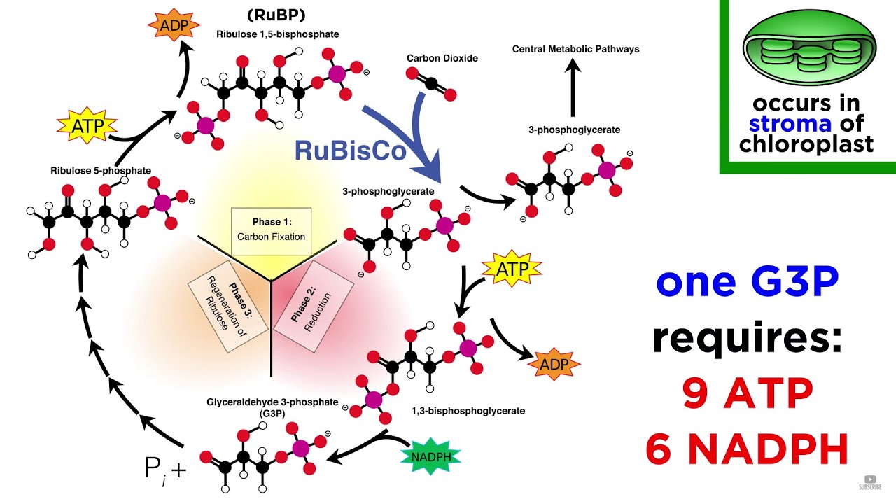 photosynethesis cycle To complete the process of photosynthesis, the other molecules of g3p leave the cycle and proceed to a series of reactions to form glucose and other sugars, starch, and other organic compounds it takes six turns of the cycle, or a total of six molecules of co2, to produce one molecule of glucose (c6h12o6) (mathews and van holde 1990 simpson.