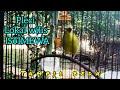 Pancingan Burung Pleci Tercepat Burung Pleci Gacor Bagus Untuk Tes Mental Dan Masteran Pleci Anda  Mp3 - Mp4 Download