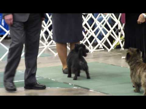 Cairn Terrier Breed ring up to placings Puyallup Sunday, January 12, 2014