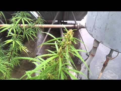 Organic Medical Cannabis Sativa
