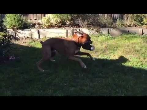 Gus the Boxer Dog vs. The Christmas Log