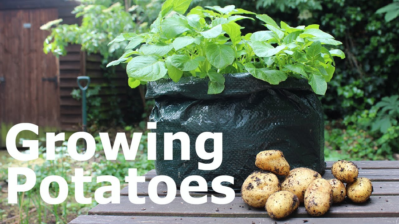Growing Potatoes in Plastic Bags the Cheap & Easy Way