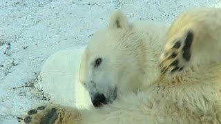 Редкие гости с Северного полюса прописались в Геленджике