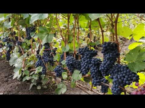Сорта и формы винограда выращиваемые в Сибири, На винограднике Валерия Зотова.