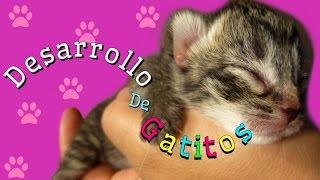 El Desarrollo de Gatitos