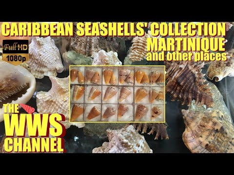 Sea shell Collection from Caribbean (Martinique & Lesser Antilles Seashells )