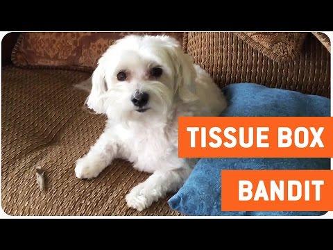 Dog Gets Caught   Tissue Bandit