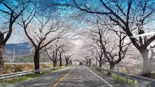 화개장터~평사리~국도2호선 하동교차로 24km 벚꽃길 …
