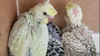 Muhabbet Kuşu Yavrularımız Büyüdüler ve Yeni Jumbo Yavrularımız