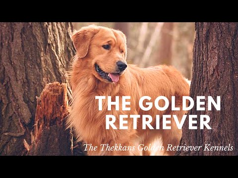 BREED #1| GOLDEN RETRIEVER INFO| THEKKANS GR KENNELS | KERALA |LOYAL BROGADES