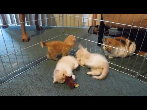 Exotic Shorthair Kittens 4 Sale