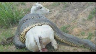 vuclip Giant Anaconda kills cow