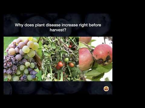 Why Plant Disease Increases Before Harvest