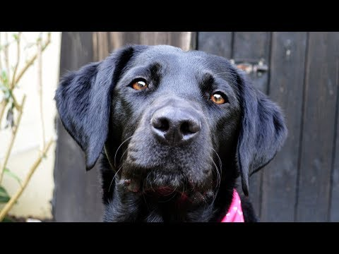 Molly The Black Labrador: 1 Year - 2 Years