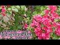 Pruning A Bougainvillea In Summer (Mid-Season) For More Bloom / Joy Us garden