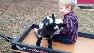 baby goat having a wagon ride with my son