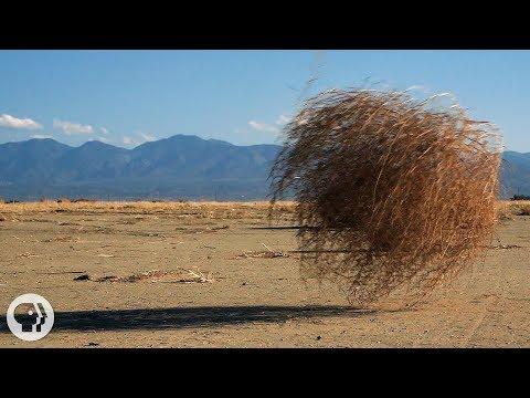 Why Do Tumbleweeds Tumble? | Deep Look