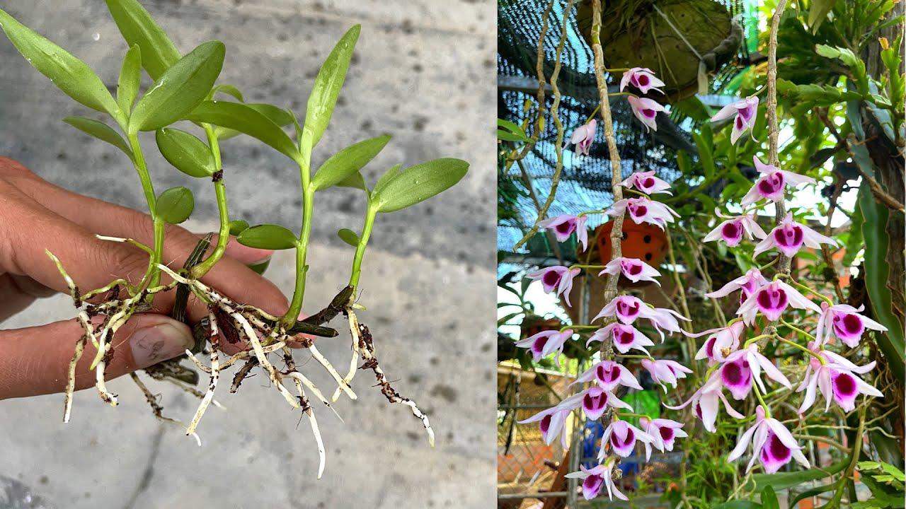 Cách giâm cành hoa lan bằng ra rễ cực nhiều | Beautiful orchid pot