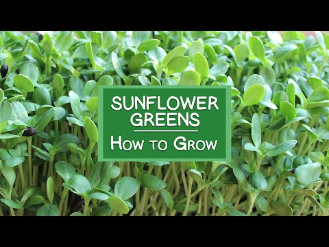 How To Grow Sunflower Sprouts A Tasty Chorophyll Rich
