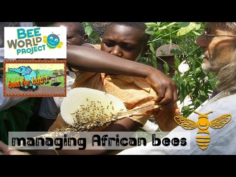 managing african bees