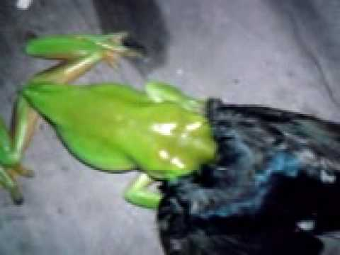 Small Green Tree Frog Eats Bird Youtube